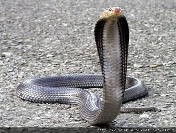 眼鏡蛇.jpg