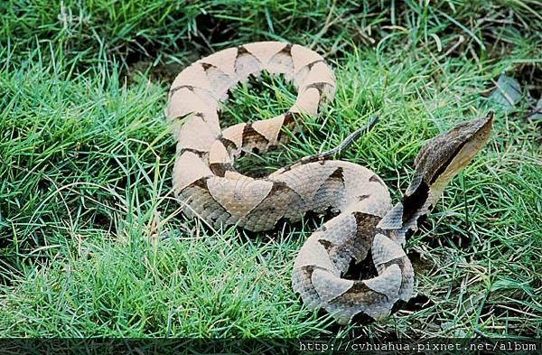 百步蛇.jpg