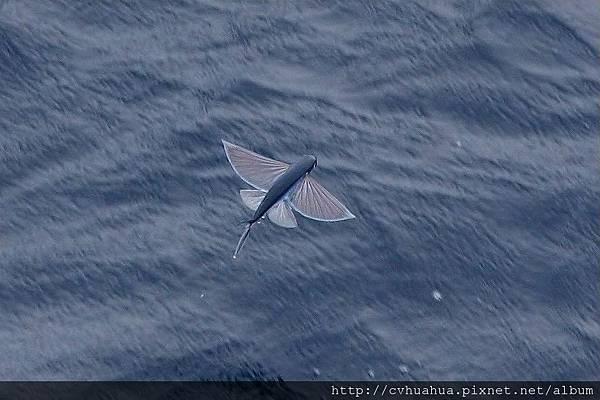 飛魚展翅.jpg