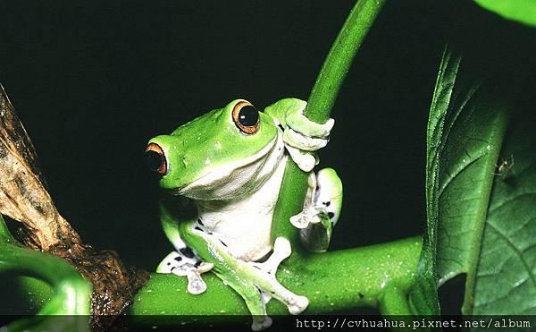 蛙-台北樹蛙.jpg