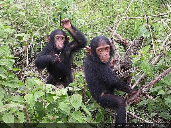 黑猩猩.JPG