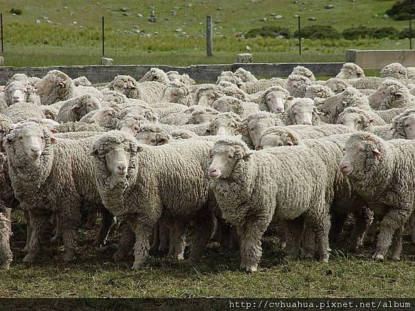 綿羊.jpg