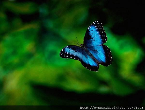 蝴蝶-藍色.jpg