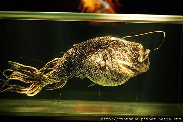 鮟鱇魚(燈籠魚).jpg