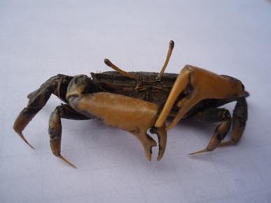 萬歲大眼蟹