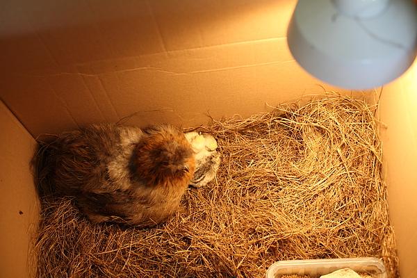 Chick 005.JPG