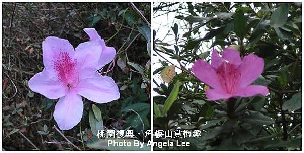 杜鵑花.jpg