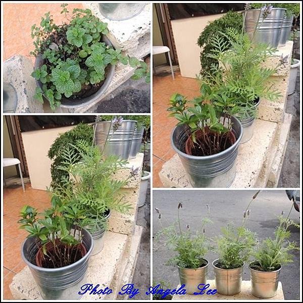 戶外的香草植物