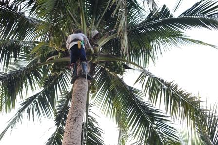 阿公每天早上都來割椰子.JPG