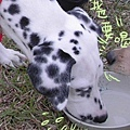 被別的狗搶水