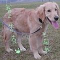 可愛的黃金獵犬