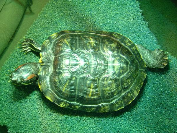 陪伴小史七年的愛龜Lazy,以懶散的奇異姿態作日光浴(還有一隻是愛裝忙的Busy)