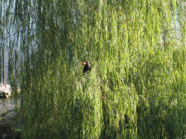 烏鴉在樹上享受水果大餐