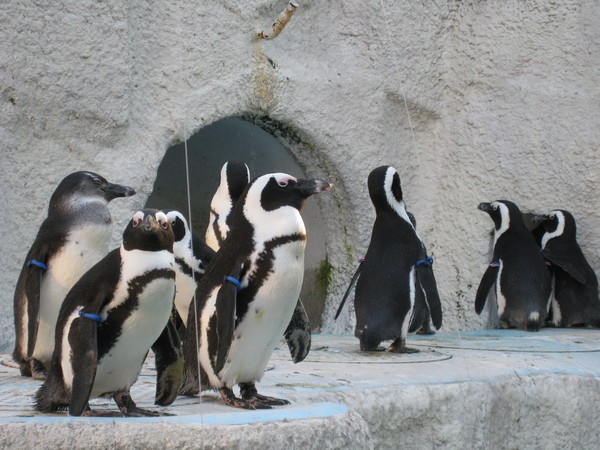 整個動物園我最愛的是企鵝,不是熊貓