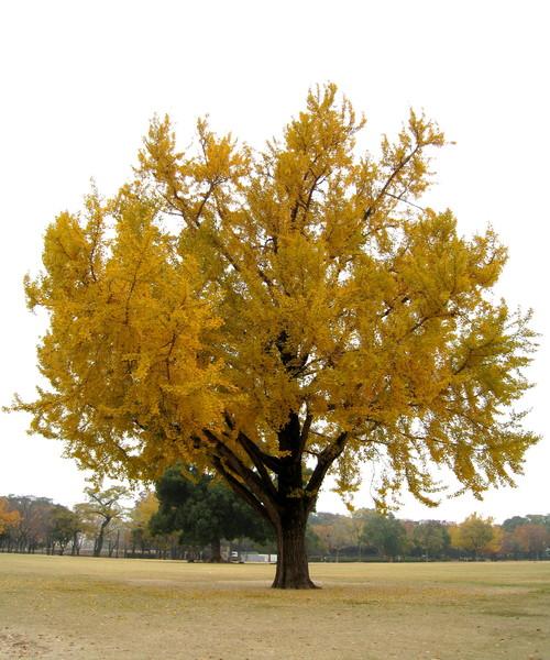 超美麗的黃葉,忘了注意是否是我最愛的銀杏?