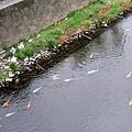 溪水裡清澈可見鯉魚,還是錦鯉!如此夢幻,應是市政府特別養的吧?