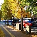 熊本市的路樹都是銀杏,所以又稱「銀杏城」