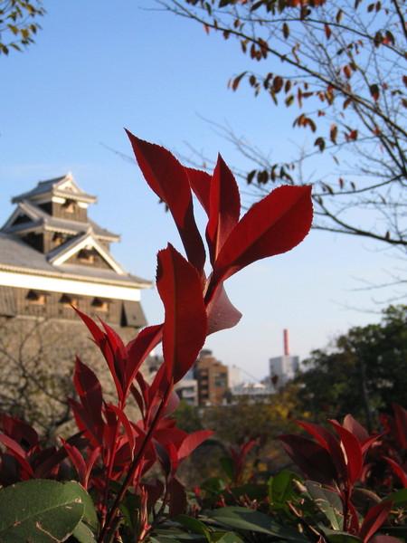 這是熊本城環山道的灌木叢路樹,不知道叫什麼名字?