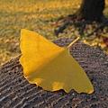 掉在環山道欄杆上的銀杏一片,連角度都不用喬