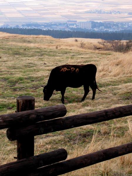 牛隻身上都有編號烙印,也有欄杆圍住以免牠們閒來逛大馬路