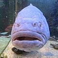 這條魚奇大無比又很醜。重點是我們在這家店裡買了Wii