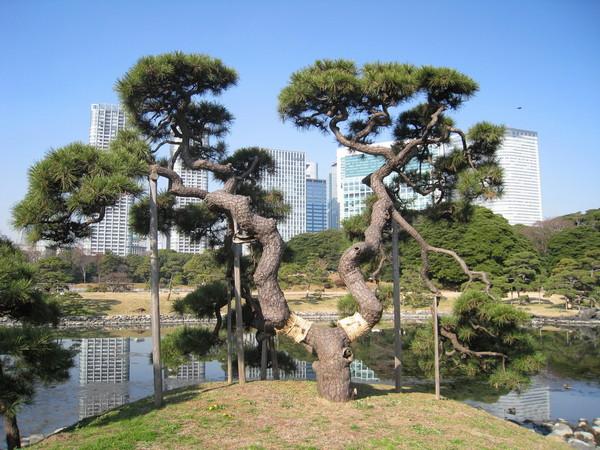 又一棵被拗成盆栽狀的樹