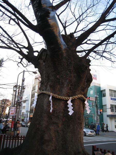大國魂神社大道外的老樹,剛才差點錯過了
