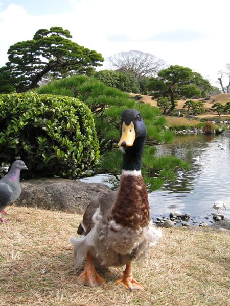 綠頭鴨完全不怕生,見我蹲下立刻走近討食