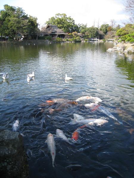 這裡的錦鯉又肥又壯,都是遊客養出來的吧
