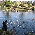 習慣被餵食的鳥禽和錦鯉,看到遊客近身,爭先恐後靠岸