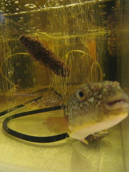 魚缸裡的活魚,焦距對準海參,河豚突然跑來鏡頭前湊熱鬧