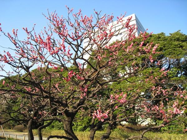 相較於上回的蕭瑟冬景,濱離宮的初春景色又別有一番風味