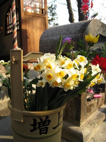 好漂亮的水仙花,應該是剛摘的吧