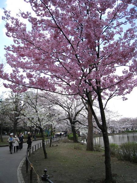 距離氣象局預報的盛開期還有三天,公園裡的櫻花已經開了至少六成