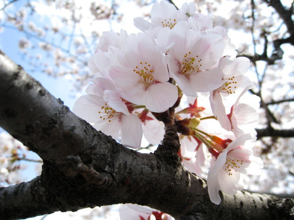 趁無風時再拍一張櫻花特寫