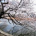 櫻花在水中的倒影很迷人