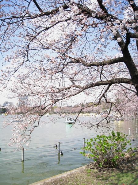景色似曾相似,後來才想起來,在華盛頓DC櫻花節見過