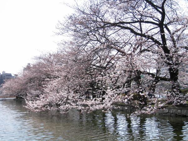 坐在湖邊吃關東煮當野餐,順便賞櫻