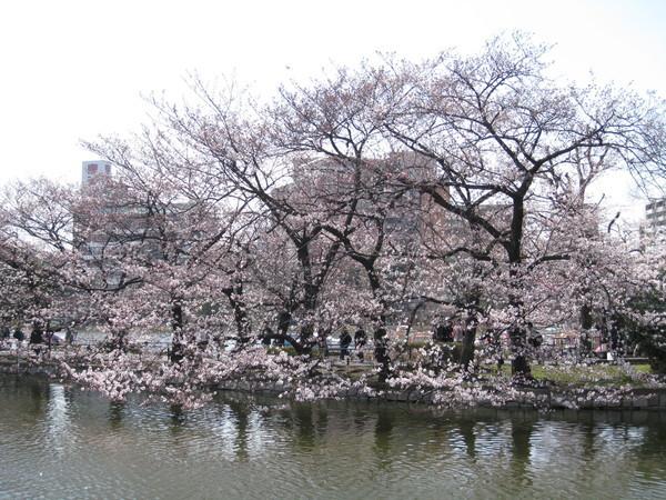 為什麼每次要拍櫻花時,太陽都躲起來!(怒)