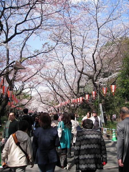 這條是通往上野動物園的大道,賞花人潮人山人海