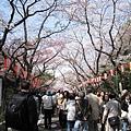 大道旁的櫻花,開的比不忍池畔燦爛許多