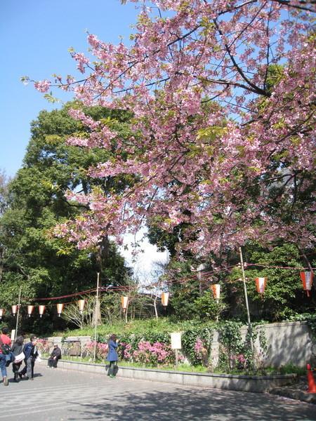 上野公園的櫻花以白色居多,偶爾幾株粉紫色的顯得特別搶眼