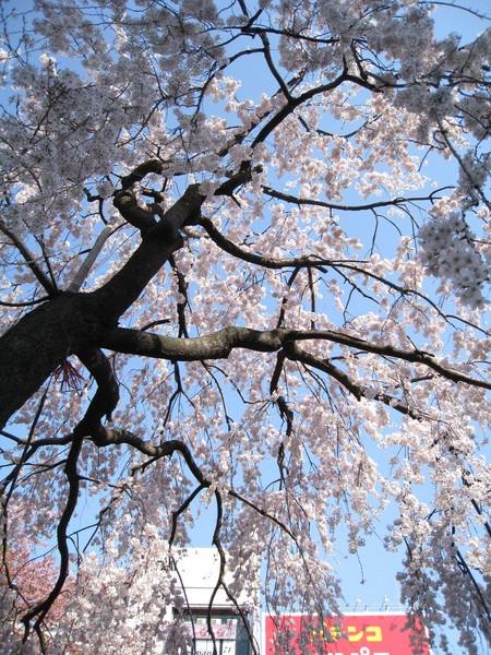 仰頭拍櫻花和藍天