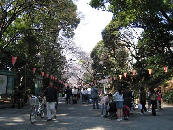 大道入口處有一段沒有櫻花,只有綠蔭