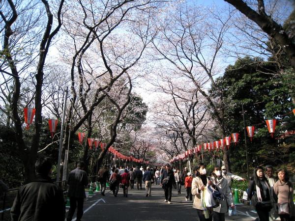 櫻花其實比畫面上茂盛,只是白色的櫻花在陽光下不顯色