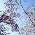 粉紫色和白色的櫻花在空中交會