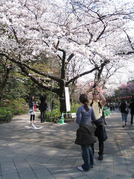 近拍櫻花很辛苦,還要長得夠高個才行