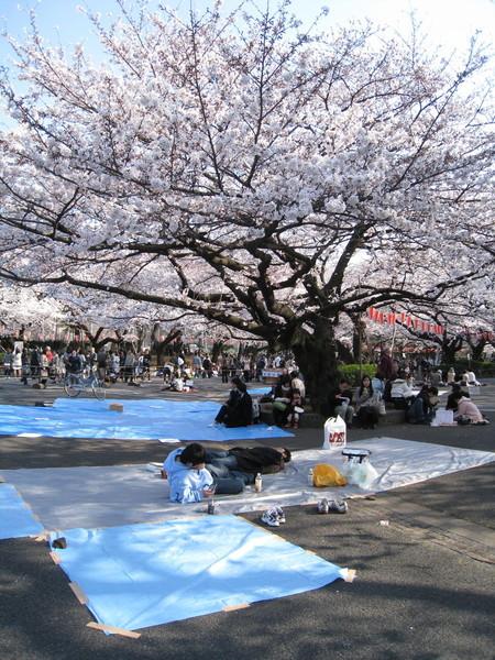 這棵櫻花樹超大超美