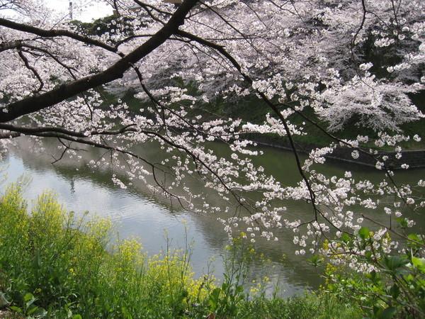 人雖然爆多,幸好千鳥之淵沿岸的櫻花真的非常美