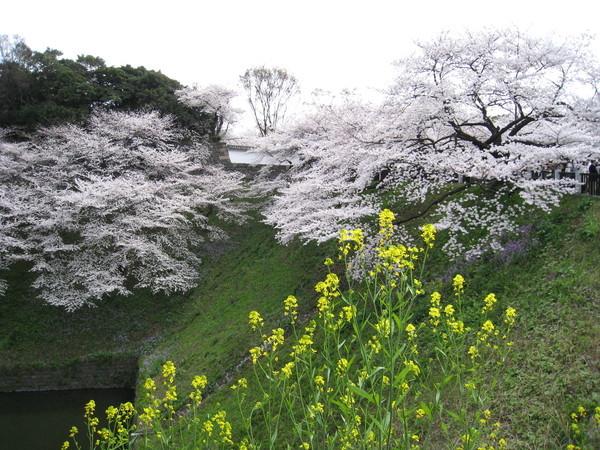 粉色的吉野櫻中,還不時有鵝黃的油菜花點綴